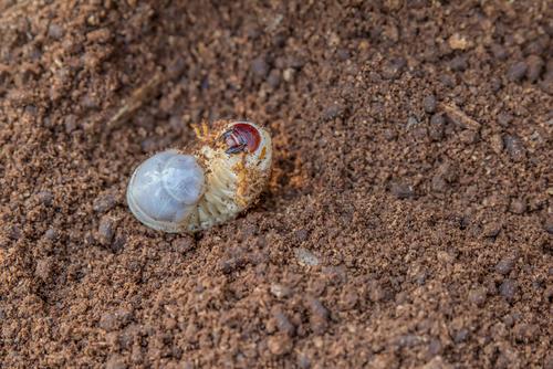 クワガタ 朽木 種類 採集