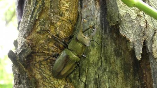 ミヤマクワガタ 採集 方法 幼虫