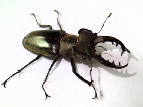 ミヤマクワガタ 絶滅危惧種