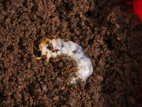 ニジイロクワガタ 幼虫 大きさ メス