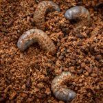 クワガタの幼虫のオス・メスの見分け方と飼育方法
