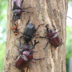 クワガタとカブトムシを一緒に採集したい!同じ木にいるのか?その時期は?