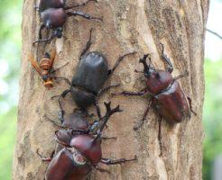 クワガタ カブトムシ 一緒 採集 木 時期