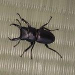 オオクワガタの蛹にとって良い温度とは?