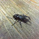 ミヤマクワガタの幼虫、冬を越す方法とは?