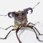 ミヤマクワガタの幼虫、成虫になるまでの期間は?