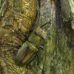 ミヤマクワガタの幼虫を採集する方法