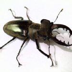 ミヤマクワガタは絶滅危惧種?