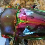 ニジイロクワガタの角は蛹の時期が重要!